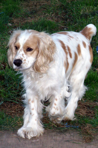 Black And White Spotted Cocker Spaniel